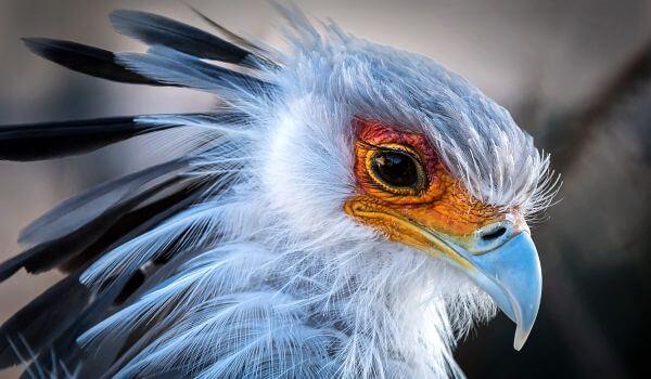 Фото: Птица секретарь из Красной книги