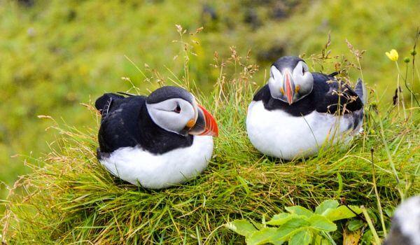Фото: Северная птица тупик
