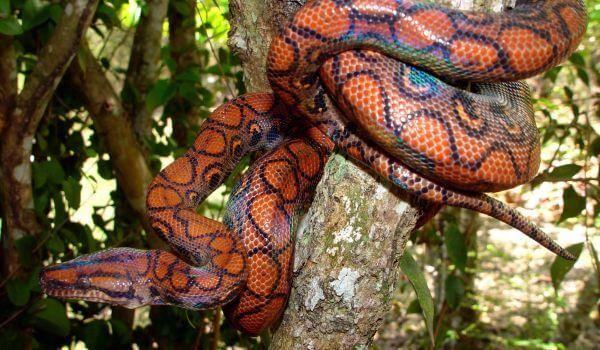 Фото: Радужный удав в Бразилии