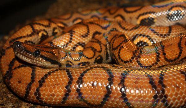 Фото: Змея радужный удав