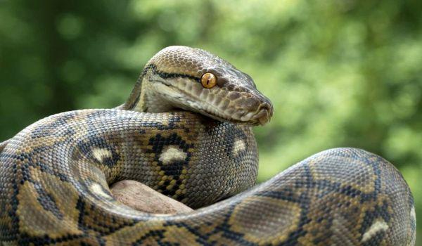 Фото: Змея сетчатый питон