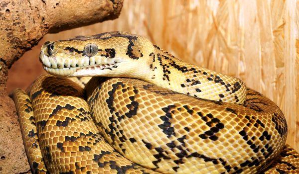 Фото: Желтый сетчатый питон