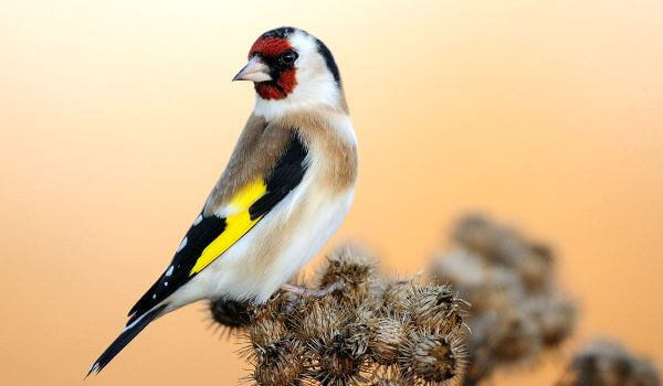 Фото: Птица щегол