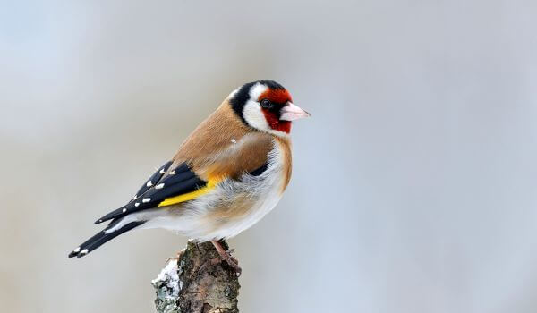 Фото: Птица щегол самка