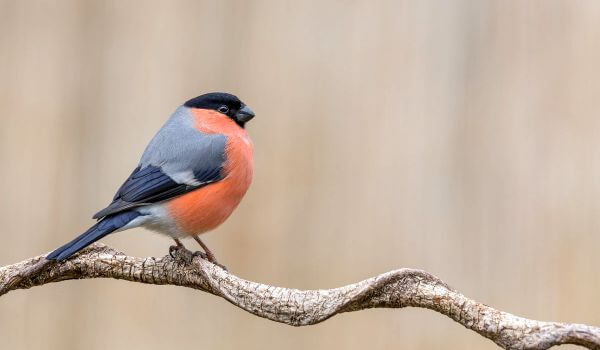 Фото: Птица снегирь