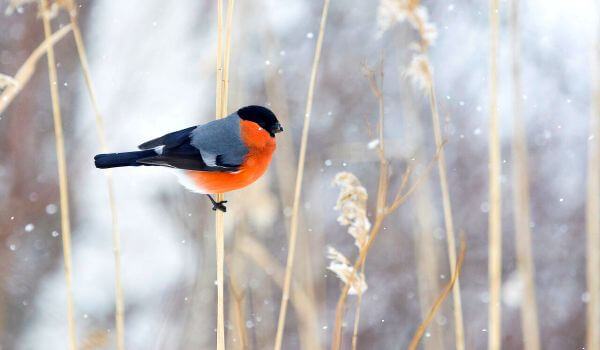 Фото: Красный снегирь