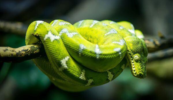 Фото: Змея собакоголовый удав