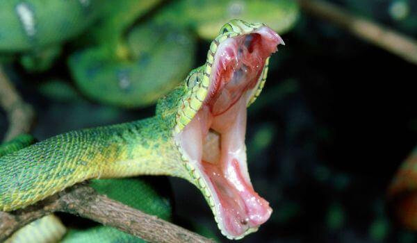 Фото: Зубы собакоголового удава