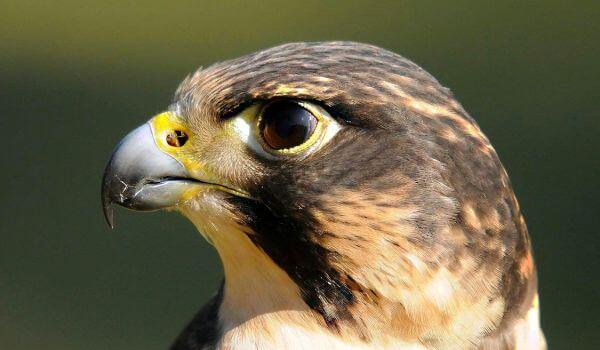Фото: Птица сокол