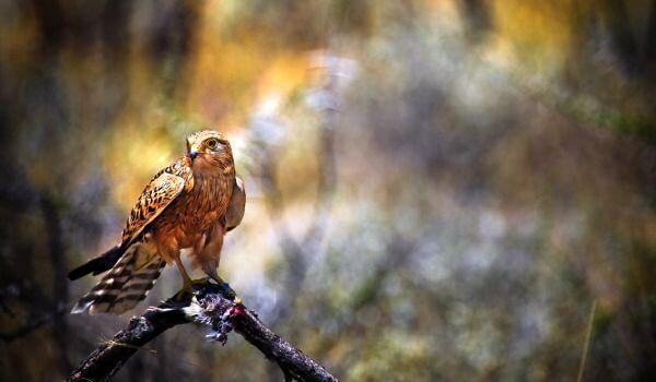 Фото: Хищная птица сокол