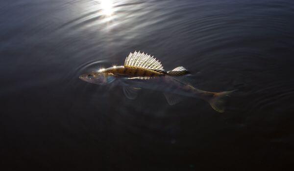 Фото: Судак в озере