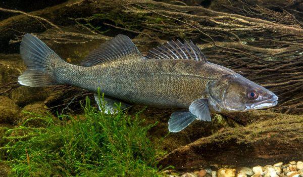 Фото: Рыба судак