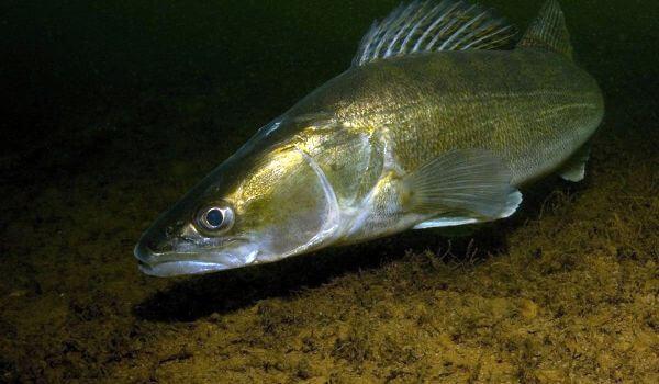Фото: Речная рыба судак