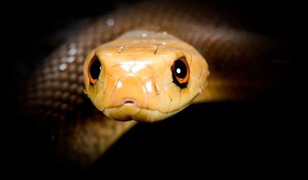 Фото: Змея тайпан Маккоя