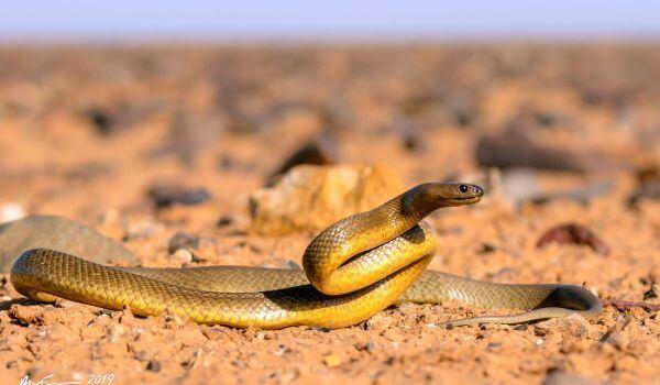 Фото: Опасная змея тайпан Маккоя