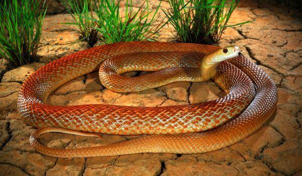 Фото: Ядовитая змея тайпан Маккоя
