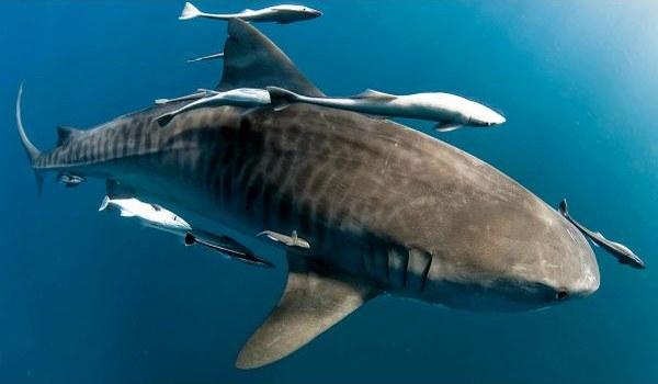 Фото: Тигровая акула в море