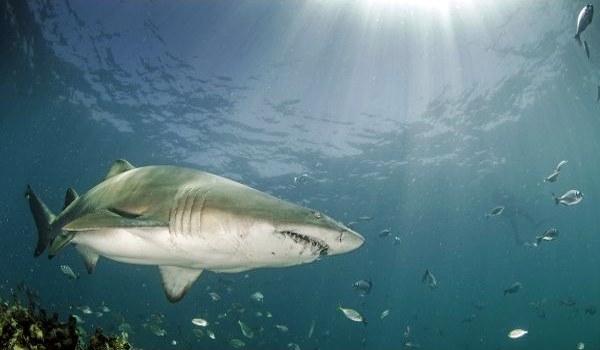 Фото: Рыба тигровая акула