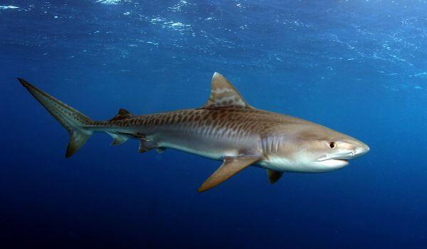 Фото: Тигровая акула