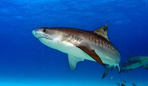 Фото: Большая тигровая акула