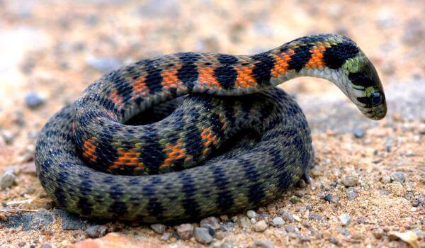 Фото: Тигровая змея из Красной книги