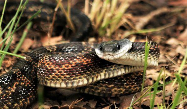 Фото: Тигровая змея из Австралии