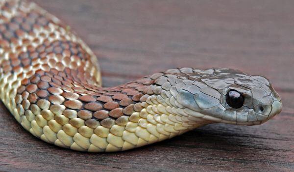 Фото: Тигровая змея