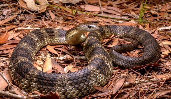 Фото: Тигровая змея в природе