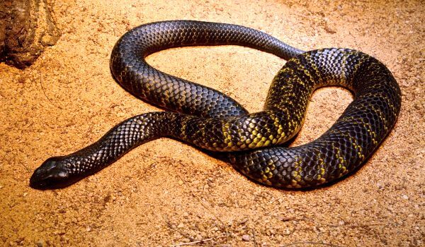 Фото: Ядовитая тигровая змея
