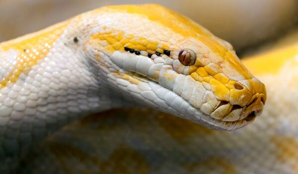 Фото: Тигровый питон альбинос