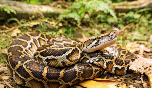 Фото: Змея тигровый питон