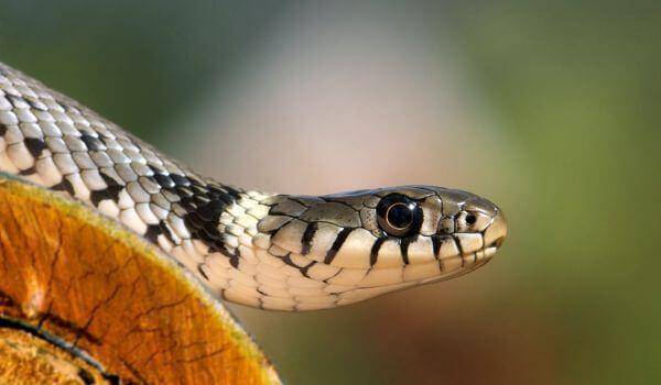 Фото: Змея тигровый уж