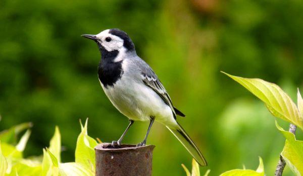 Фото: Птица трясогузка