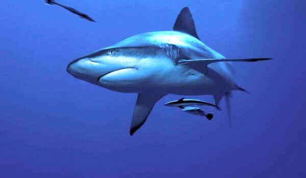 Фото: Тупорылая акула
