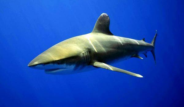 Фото: Опасная тупорылая акула