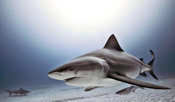 Фото: Бычья тупорылая акула