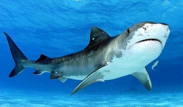 Фото: Тупорылая акула в воде