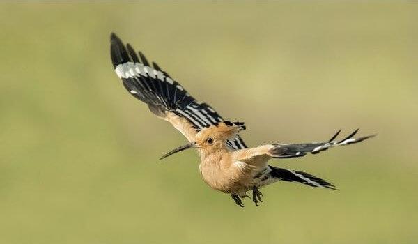 Фото: Птица удод