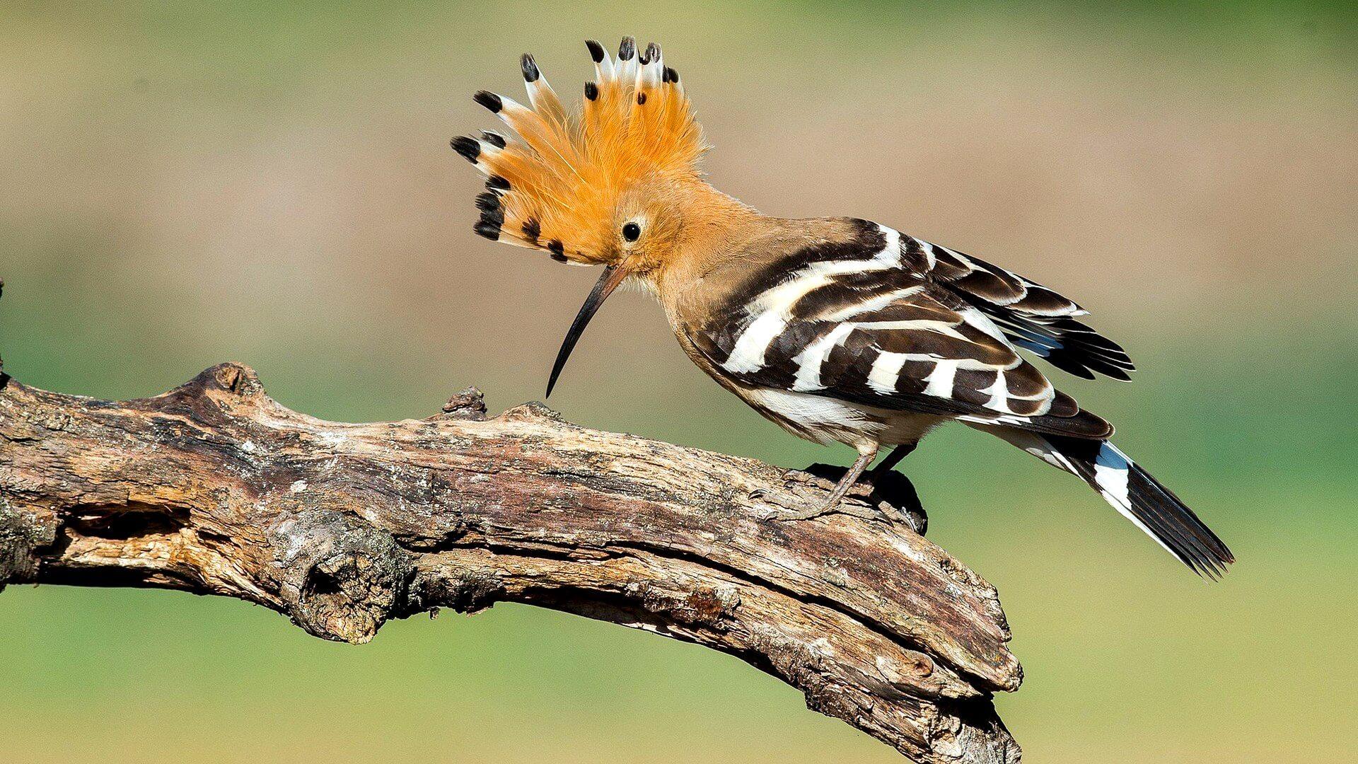 живут картинки удод птицы традиций