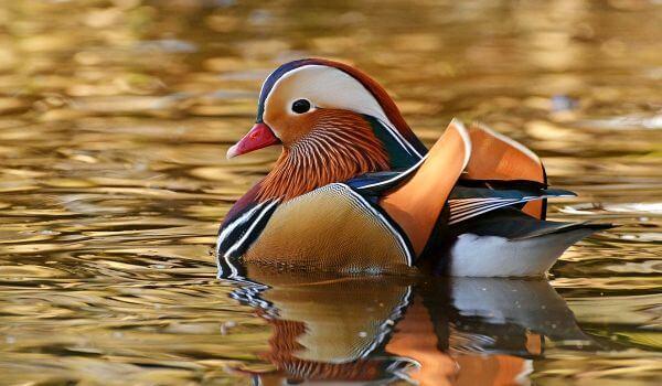 Фото: Птица утка мандаринка