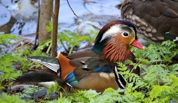Фото: Самец утки мандаринки