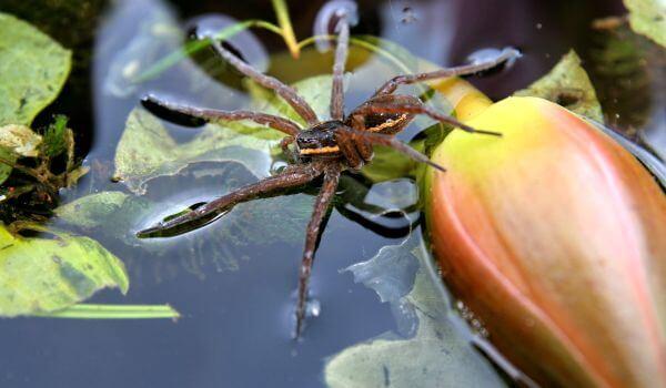 Фото: Водяной паук, или серебрянка