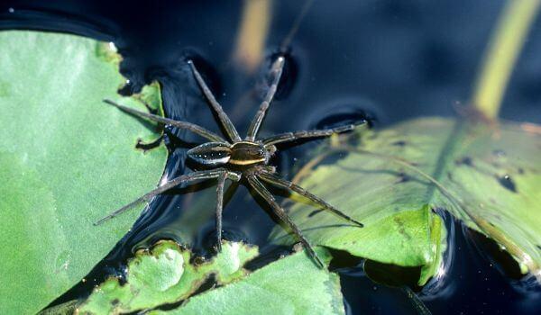 Фото: Водяной паук