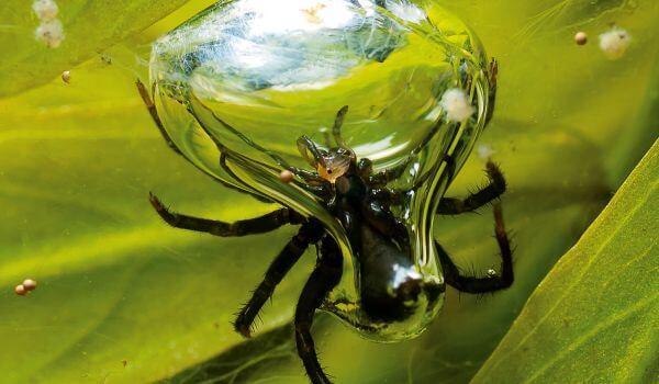 Фото: Водяной паук, он же серебрянка