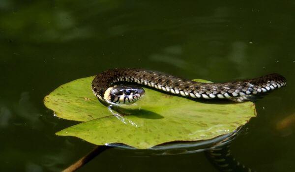 Фото: Змея водяной уж