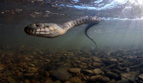 Фото: Уж в воде