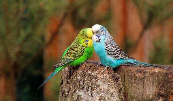 Фото: Пара волнистых попугаев
