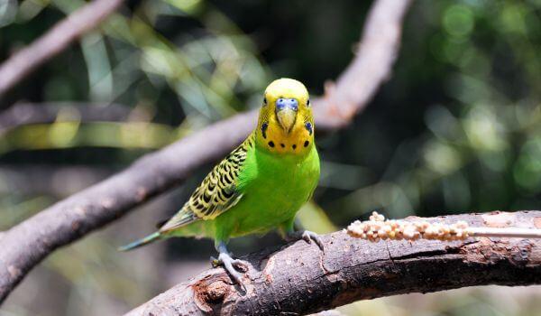 Фото: Зеленый волнистый попугай