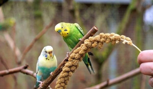 Фото: Волнистые попугаи