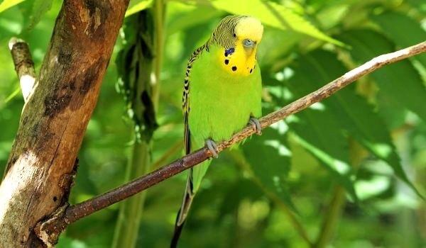 Фото: Волнистый попугай в природе
